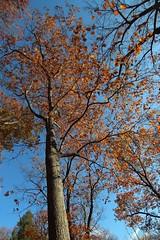 Quercus rubra (Red oak) 16882*B (smrozak) Tags: suzannemrozak 27nov2016 oakroute quercusrubra redoak 16882b