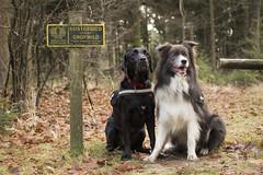 IMG_7844 (Marcel Hendriks) Tags: veluwe bordercollie labrador wild sign forest hogeveluwe fall