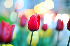 Welcome Spring (Abdullah alJaber > AJ.SA) Tags: flowers red lake chicago flower art america aj photography us spring nikon downtown photographer loop united saudi arabia pro states welcome hamad ksa abdullah       aljaber ajsa       d7k   d7000  mobt3th wwwajsa