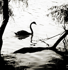 I walk alone (AnnuskA  - AnnA Theodora) Tags: trees lake nature water beautiful animal reflections swan dreamy fowl blackswan blackandwhitephotography