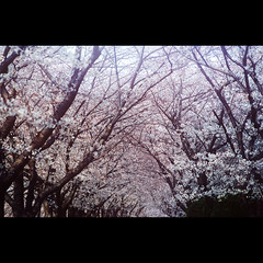 Cherry blossom trees (Saraia77(Very slowly....)) Tags: tree japan osaka contax139q carlzeisssonnar13528 kodakektar100