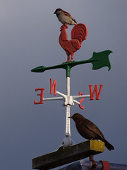 Weathervane (rooster) (Home Land & Sea) Tags: newzealand sparrow nz rooster weathervane hastings blackbird sonycybershot hawkesbay windvane homelandsea dschx100v handyperch