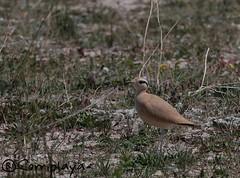 Corredor sahariano (Cursorius cursor) Cream-colored Courser (Corriplaya) Tags: birds aves cursoriuscursor creamcoloredcourser corredorsahariano corriplaya