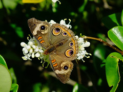 DSCF1726pm.jpg (Corgibird) Tags: flowers butterfly spring pretty butterflies insects springflowers infocus highquality swarms