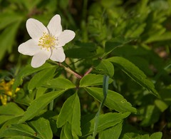 Anemone nemorosa: Specimen (sfb_dot_com) Tags: white flower green leaves woodland spring europe britain stamens deciduous lc ranunculaceae perennial serrated lobed dicot herbaceous ranunculales trifoliate rhizomatous tepals cooltemperate summerdormant afsdxvrzoomnikkor18105mmf3556ged neuropean nhemisphere