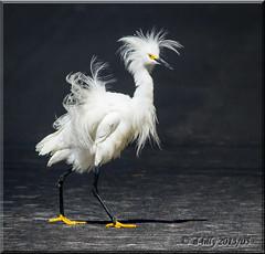 'strutting his stuff' (d-lilly) Tags: ngc npc santarosa snowyegret avianexcellence blinkagain