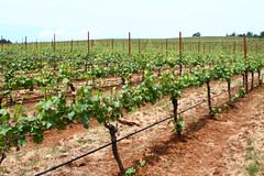 Manicured Vineyard (Nick / KC7CBF) Tags: new green oregon early vineyard spring wine trimmed young grow winery growth vineyards rows commercial valley grapes production immature turner grape willamette vinyard viticulture pruned undeveloped manicured trellising 2013