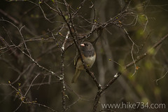 """Dark-eyed Junco • <a style=""""font-size:0.8em;"""" href=""""http://www.flickr.com/photos/63501323@N07/8757125727/"""" target=""""_blank"""">View on Flickr</a>"""