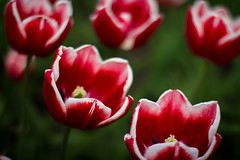 Tulips and Focus - Copenhagen, Denmark (virtualwayfarer) Tags: park travel flowers summer flower nature water closeup contrast copenhagen garden denmark spring europe downtown tulips natural exploring tulip bloom raindrops cph scandinavia wildflower botanicalgarden blooming travelogue traveler kobenhavn centralcopenhagen whitetulip universityofcopenhagen alexberger virtualwayfarer