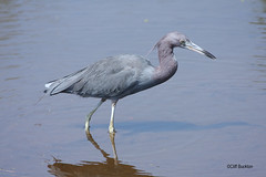 IMG_3532 Little Blue Heron (Cliff Buckton) Tags: florida littleblueheron