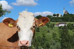 Countryside (Been Around) Tags: animal austria kuh cow sterreich spring europa europe may eu mai sr europeanunion autriche austrian frhling aut steyr o  upperaustria stulrich garsten 2013 a hauteautriche concordians bersterreich thisphotorocks expressyourselfaward bauimage stulrichbeisteyr boigerstadl