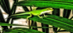 Gecko In My Plant (NateFischPix) Tags: green nature warm texas reptile palm lizard gecko natefischpix uploaded:by=flickrmobile flickriosapp:filter=nofilter