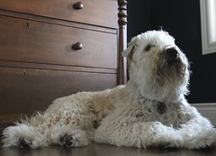Mr. Handsome... (milikin) Tags: softcoatedwheatenterrier scwt