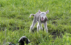 Lamm (Pixelkids) Tags: animal spring lamb tier schaf lonesome agneau lamm allein
