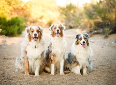 UV7A4079 (Aussies4me_ReenaG) Tags: dogs naturallight wash australianshepherd aussies 52weeksfordogs wwwreenagiolacom trioofaussies