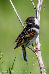 Reed Bunting (Andy Morffew) Tags: hampshire reedbunting penningtonmarshes naturethroughthelens andymorffew morffew