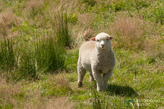 Baby Lamb in Central Otago - New Zealand (uncorneredmarket) Tags: newzealand animals sheep lamb southisland otago centralotago oturehua