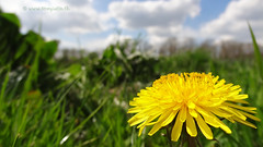 Dandelion in the grass, Zeist, Netherlands - 1351 (HereIsTom) Tags: travel flowers food holland nature netherlands dutch spring europe view you sony nederland natuur cybershot dandelion views lente bloemen zeist bloem webshots paardenbloem bunzing hx9v blikkerburgervaart