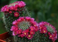 Mammillaria zeilmanniana 1 (Cactipal) Tags: cactus mammillaria zeilmanniana cactipal