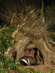 Badger by ancient oak ( Meles meles ) (Kevin Keatley - MD Wildlife Watching Supplies) Tags: badger britishwildlife naturephotography hedgerows wildlifephotography melesmeles naturepictures natureandwildlife middevon kevinkeatley hedgerowbadgers