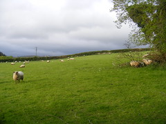 Mr. D's Field, Co. Carlow, Ireland (DOC 84) Tags: field see sheep mr d south down lambs now month in carlow