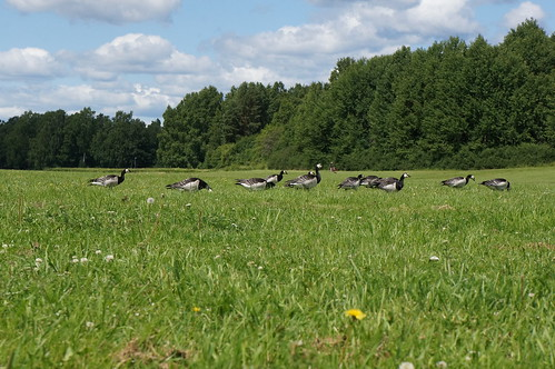 """Barnacle Goose • <a style=""""font-size:0.8em;"""" href=""""http://www.flickr.com/photos/43628998@N05/9175409686/"""" target=""""_blank"""">View on Flickr</a>"""