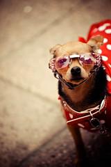Fashionata Chihuahua (Cyrielle Beaubois) Tags: summer dog chien canada chihuahua sunglasses fashion fun funny ottawa qubec canadaday drle 2013 canoneos5dmarkii cyriellebeaubois