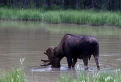 bull moose, Northern Rockies (lmainjohnson7) Tags: canada nature britishcolumbia wildlife moose alaskahighway alcesalces toadriver northernrockies muncholakepark