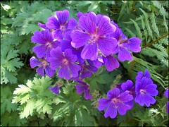 Wild Geranium .. (** Janets Photos **) Tags: uk flowers plants green flora purple masterphotos artisticflowers takenwithlove mindigtopponalwaysontop lovelyflickr blinkagain thegoldenachievement goldenachievement dreamlikephotos takenwithhardwork lovelynewflickr