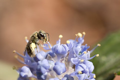 Munchie (maddenla) Tags: flowers blue black flower macro nature floral closeup bug insect close bee bud
