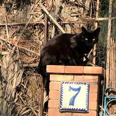 Y ahora, Qu? Mala, o buena suerte? (Agarcaruiz) Tags: cats gatos felinos gatonegro supersticiones
