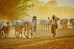 Returning From Pasture 16 (Artypixall) Tags: texture cattle cows dusk burma myanmar dust herd bagan herders