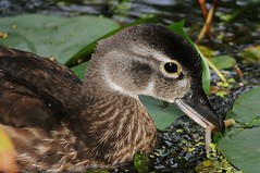Juicy breakfast for this young female wood duck (beyondhue) Tags: wood summer lake ontario canada bird fall water female swim duck close mud head ottawa beak young eat vegetation feed beyondhue