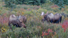 Tis the Season (dbushue) Tags: autumn fall alaska cow nikon wildlife moose bull courting denalinationalpark alcesalces 2013 specanimal ruttingseason dailynaturetnc12 photoofthedaynwf12 dailynaturetnc13 photoofthedaynwf13
