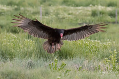 Turkey Vulture comes in for a landing