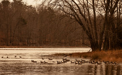 Geese on Cash Lake (leehobbi) Tags: lake nature water birds canon landscape geese wildlife maryland goose 5d waterfowl patuxent refuge