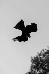 Rapace - Melbourne, Australia (jessica.petraszko) Tags: voyage travel sky white black bird nature animal fly noir wildlife flight australia healesville ciel fujifilm vol blanc oiseau sanctuary australie voler xm1