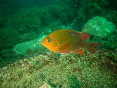 P1010801.jpg (Michael Bartosek) Tags: olympusepl3 catalinaisland olympus1442mm underwater catalina diving california pacificocean