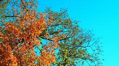 """ Autumn is a second spring when every leaf is a flower "". Albert Camus (chowdhuryfarah) Tags: autumn spring fall colourful vivid blue sky canada ontario"