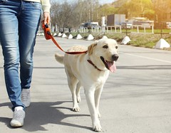 How to Carry Out Walking Meditation with Your Dog (dogsyoulove) Tags: dog spring animal beautiful canine cute day doggy friend happy life outdoors park pet walk adorable breed pedigree sun sunny obedient smart retriever labrador summer white outside young friendly domestic charming faithful training education autumn fall friendship girl man owner people person together woman companion small command leash city street russianfederation