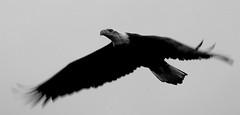 Freedom in flight (jonathan.pratt14) Tags: bif birdinflight haliaeetusleucocephalus baldeagle birdofprey blackandwhite bnw americanbaldeagle adultbaldeagle nikonafs300mmf4 nikond70s march2012 monocgrome