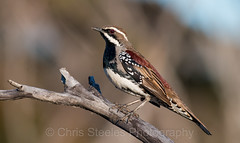 Chestnut Quail-thrush (chrissteeles) Tags: chestnutquailthrush quailthrush bird birding mallee mtmary southaustralia sa