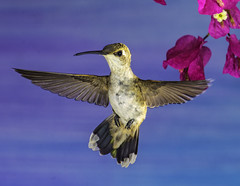 Rufous Hummingbird And The Bougainvillea Blossoms (Bill Gracey) Tags: hummingbird hummer fleur flor aerialmaneuver poway paintedbackdrop offcameraflash flowers flores avianphotography nature naturephotography yn560iii yn560 yn560ii yongnuorf603n manualmode bif birdinflight feeding sharp detail clarity selasphorusrufus