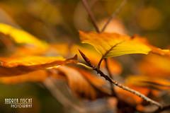 Autumn leaves (Picturehunters) Tags: herbst herbstlaub autumn fall bunt gelb yellow licht bokeh ast baum tree zart unschrfe picturehunters bayern bavaria ammersee herbstwald