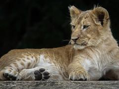 2016-10-06-0506 (BZD1) Tags: panthera pantheraleo lion mammal animal carnivore carnivora leeuw nature natura olmensezoo felidae cats cat bigcat bigfive