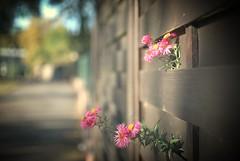 HFF - Escape of the pink flowers (J a n W i l l e m) Tags: pink flowers fence hff nikon d200 35mm 18 dof vignetting