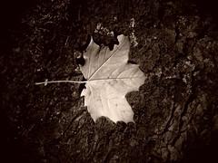 Je ne veux pas quitter mon arbre.... I don 't want to leave my tree.. (alainpere407) Tags: alainpere automne autumn feuillemorte deadleaf parisnoiretblanc parisinsolite candidpictureinparis streetsofparis saariysqualitypicturesgallery blackdiamond