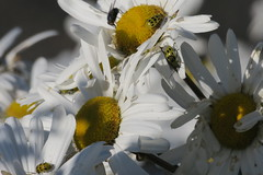 busy beetles (caboose_rodeo) Tags: 151 flowers bayleybeachrowaytonct flyinginsect insect