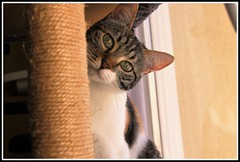 Cache - cache (Les photos de LN) Tags: cat chat pet animaldomestique animaldecompagnie flin mammifre isabelle chatte