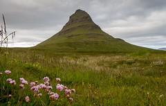 Wildflowers of Kirkjufell (Elin Jakobsen) Tags: mountain kirkjufell peninsula snfellsnes wildflowers iceland